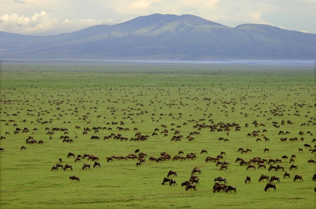 Wildbeest in the plains of Serengeti National Park, the winner of 2013 International Award for the Tourist, Hotel and Catering Industry(3)